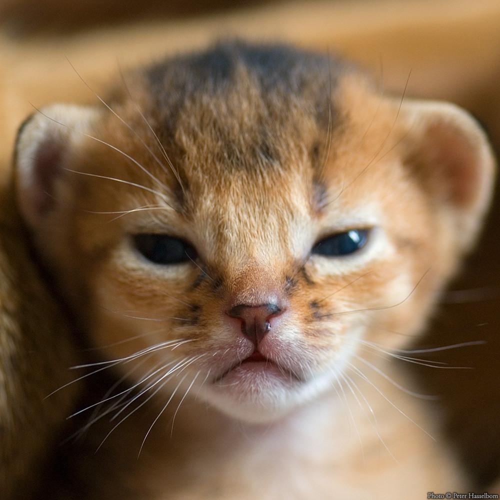 kitten lion baby