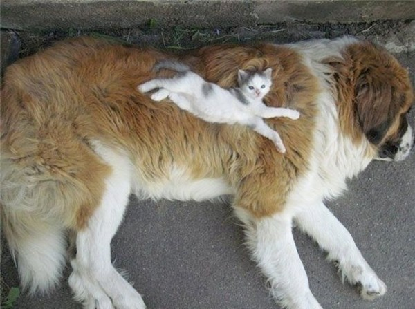 This is priceless Cat-sleeping-dog-600x447