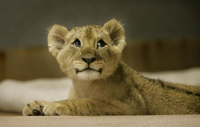 Lion-cute